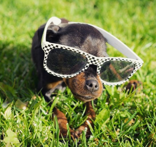 dog in sunglasses 1