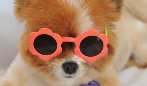 dog in sunglasses 5