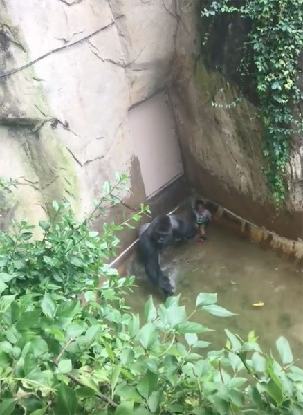 gorilla killed 3