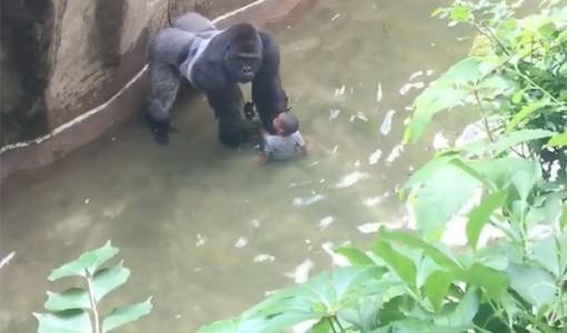 gorilla killed 4