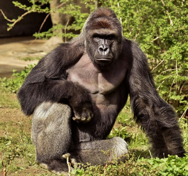 Harambe, a 17-year-old gorilla at the Cincinnati Zoo is pictured in this undated handout photo provided by Cincinnati Zoo. REUTERS/Cincinnati Zoo/Handout via ReutersATTENTION EDITORS - THIS PICTURE WAS PROVIDED BY A THIRD PARTY. REUTERS IS UNABLE TO INDEPENDENTLY VERIFY THE AUTHENTICITY, CONTENT, LOCATION OR DATE OF THIS IMAGE. THIS PICTURE IS DISTRIBUTED EXACTLY AS RECEIVED BY REUTERS, AS A SERVICE TO CLIENTS. FOR EDITORIAL USE ONLY. NO RESALES. NO ARCHIVES. - RTX2ENVU
